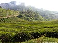 Breathtaking view at BOH Sungei Palas Tea Plantation, Cameron Highlands.jpg