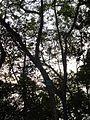 Bridelia monoica Dom long.JPG