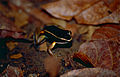 Brilliant-thighed Poison Frog (Allobates femoralis) (10378967524).jpg