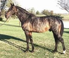 Brindle Horse Color