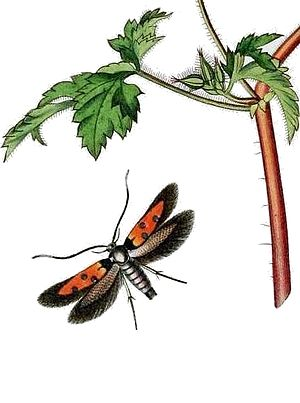 Agonoxeninae - Chrysoclista linneella