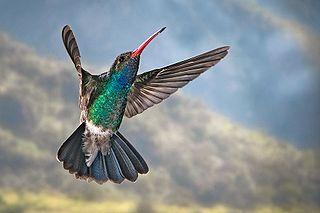 Trochilinae Subfamily of hummingbirds
