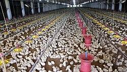 Broiler Chicks.jpg