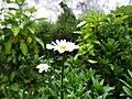 Bromo Chrysanthemum.jpg