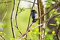Brown-headed cowbird (33800266306).jpg