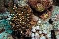 Brown coral (6163170595).jpg