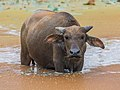 Bubalus bubalis (water buffalo) looking at the viewer, the feet in a pond, in Laos.jpg