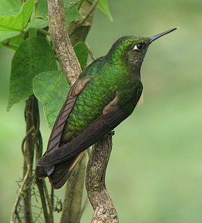 <i>Boissonneaua</i> Genus of birds