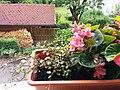 Bumblebee on Begonia x semperflorens-cultorum publicdomain tbf - 36.jpg