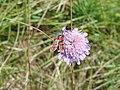Burnet moth - panoramio (1).jpg