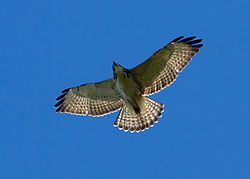 Buteo platypterus immature flying.jpg