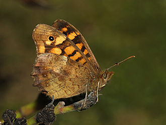 Speckled wood (butterfly) - Male underside