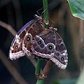 Butterfly at Chester Zoo 04.jpg