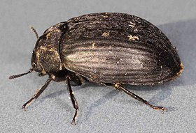 Byrrhus pilula, Cader Idris, North Wales, June 2010 (23430599841).jpg