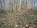 Cīrulīši uzziedējuši. Медуница цветет. - mikroskops - Panoramio.jpg