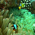 CIMG2805 Red Sea Anemonefish, The Islands, Dahab (2693004817).jpg