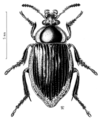 COLE Agyrtidae Necrophilus sp.png