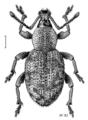 COLE Curculionidae Otiorhynchus singularis.png