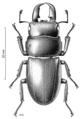 COLE Lucanidae Serrognathus sika.png