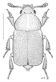 COLE Staphylinidae Microsilpha litorea.png