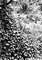 COLLECTIE TROPENMUSEUM Piddingtonia Campanulaceae geneesmiddelen TMnr 10006385.jpg