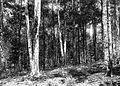 COLLECTIE TROPENMUSEUM West-Java de oudste guttapercha zaadbomen afkomstig van Sumatra TMnr 60020150.jpg