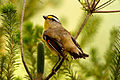 CSIRO ScienceImage 10354 Striated Pardalote Jamieson Victoria.jpg