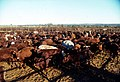 CSIRO ScienceImage 1678 Cattle in yard.jpg