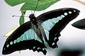 CSIRO ScienceImage 2665 Blue Triangle Butterfly.jpg