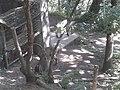 Cabres salvatges al Parc'Ours 20180730 112047.jpg