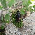 Cactophagus spinolae (Family Curculionidae).jpg
