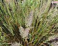 Calamagrostis brachytricha 01.JPG