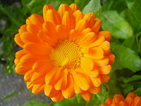 Neven (Calendula officinalis)