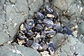California Mussels (2513978279).jpg