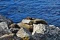California sea lion (Zalophus californianus) Catalina babies.jpg