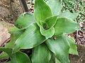 Callisia fragrans-yercaud-salem-India.JPG