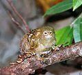 Callithrix pygmaea - Flickr - Dick Culbert.jpg