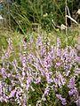 Calluna vulgaris sl2.jpg