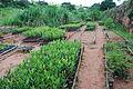 Calophyllum brasiliense Mococa Brasil seedling 003.jpg