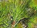Calothamnus montanus (young foliage).JPG