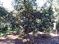 Camellia oleifera 0zz.jpg