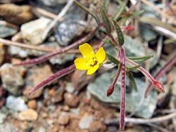 Camissonia benitensis.jpg