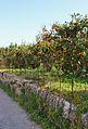 Camp de tarongers pel camí de la Fontana, Xàbia.JPG
