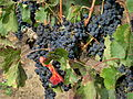 Canada - BC - 11 - the lovely wineries of the Okanagan (4035535530).jpg