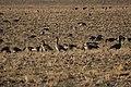 Canada goose - Branta canadensis (44144043264).jpg