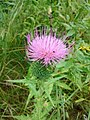 Canadian Thistle (169020837).jpeg