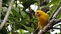Canario especie nativa Melgar Tolima - panoramio.jpg