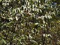 Canthium diccocum (8503514252).jpg