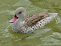 Cape Teal (Anas capensis) (7096522691).jpg
