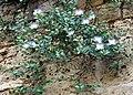 Capparis spinosa28.jpg